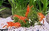 Garnelio - Oranger Zwergkrebs - Oranger Zwergflusskrebs (CPO) - 1 Pärchen