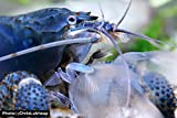 Garnelio - Blaue Gabunfächerhandgarnele 3er Gruppe - Monsterfächergarnele - Atya gabonensis Fächergarnele Garnele Aquarium
