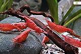 Garnelio Red Fire/Cherry Garnele - 10 Stück