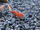 Topbilliger Tiere Red Fire Garnele - Neocardina davidi 20x