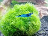 Topbilliger Tiere Blue Dream - Velvet Garnele - 5X - Neocaridina davidi