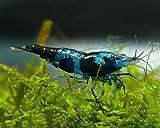 Garnelen Einsteigergarnelen Neocaridina davidi - lebend Zwerggarnelen für das Aquarium - 5er Pack, Farbe schwarz/blau