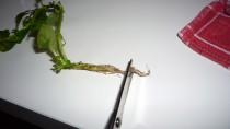 Wurzel einer Aquariumpflanze schneiden