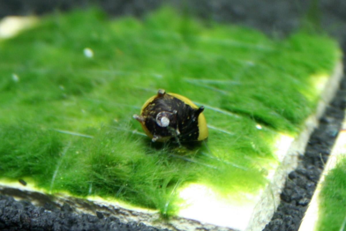 Tierbesatz im aquarium garnelen schnecken und fische for Kleine zierfische