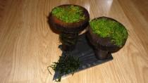 Moorkien-Pilz und Moose