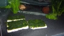 Shrimpstone Cladophora