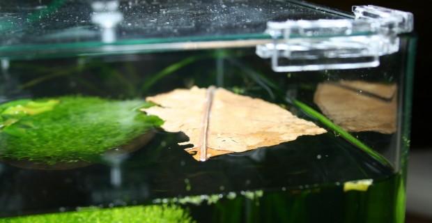 Warum fressen meine Garnelen keine Seemandelbaumblätter?
