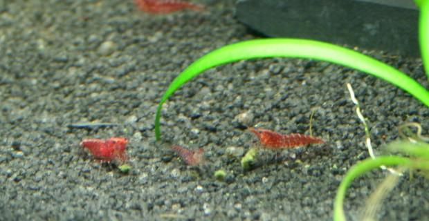 Zwerggarnelen Nahrung – Optimales Futter im Garnelen-Aquarium