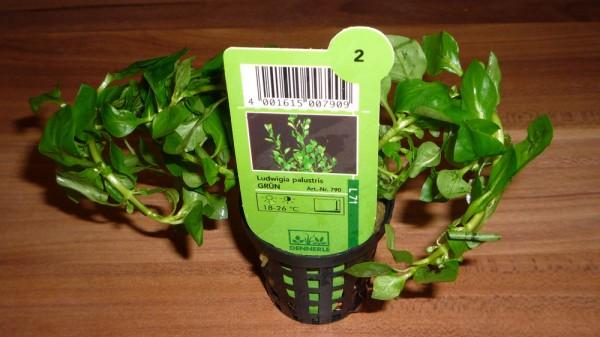 Ludwigia palustris Wasserpflanze in grün wuchert – jetzt ist sie raus