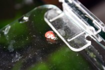 tote Zwerggarnele auf Aquariumscheibe
