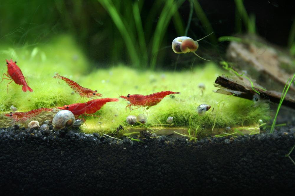 zwerggarnelen archives nano aquarium. Black Bedroom Furniture Sets. Home Design Ideas