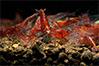 Red Cherry Garnelen kaufen