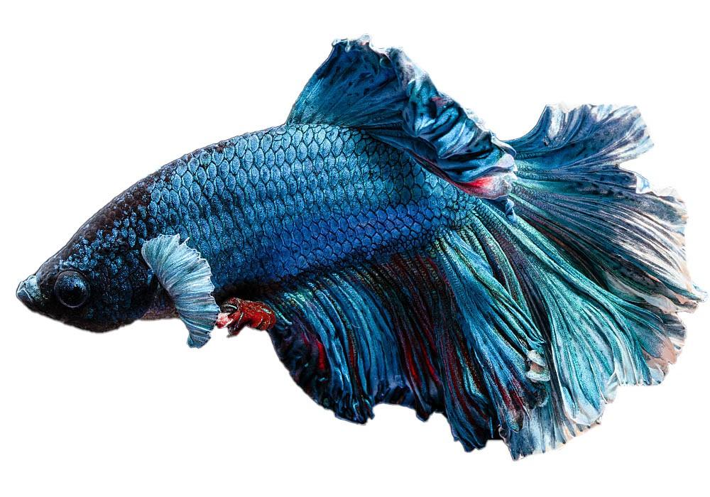 Blauer Kampffisch