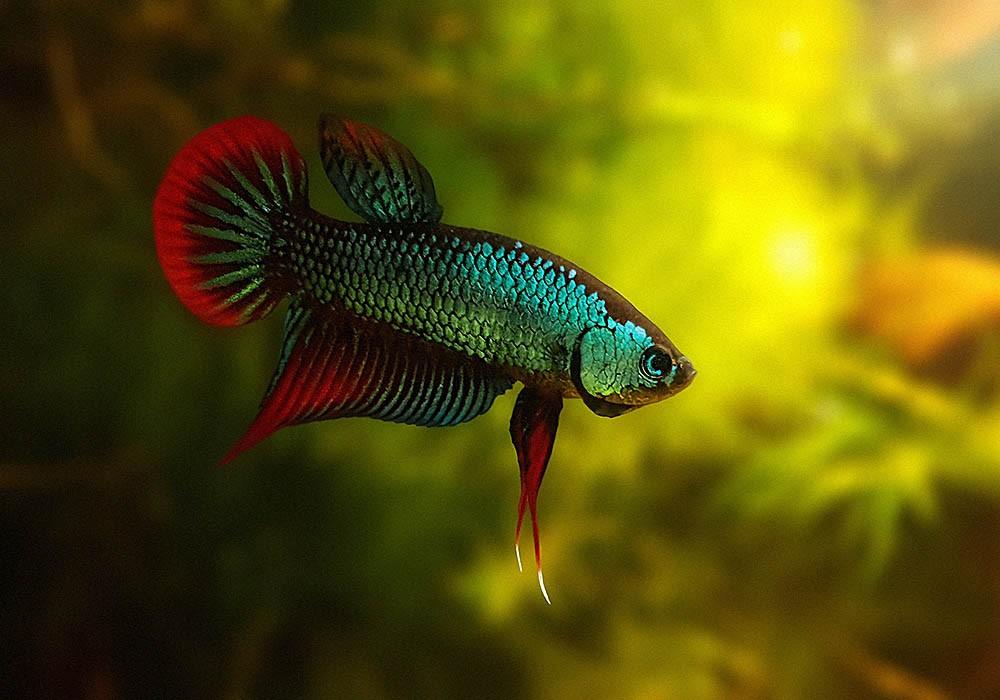 Herkunft Wildform vom Kampffisch