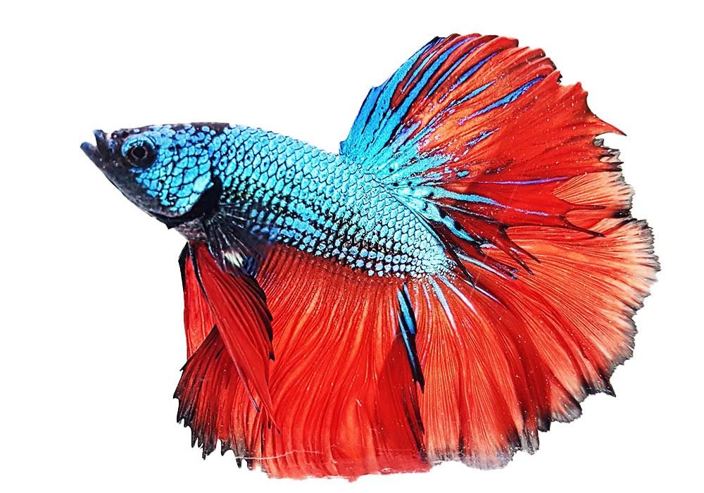Hochzucht-Kampffisch