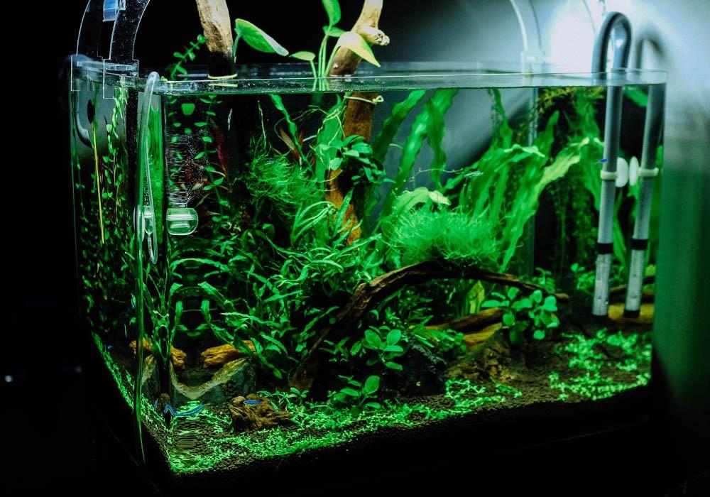 Kampffisch-Aquarium