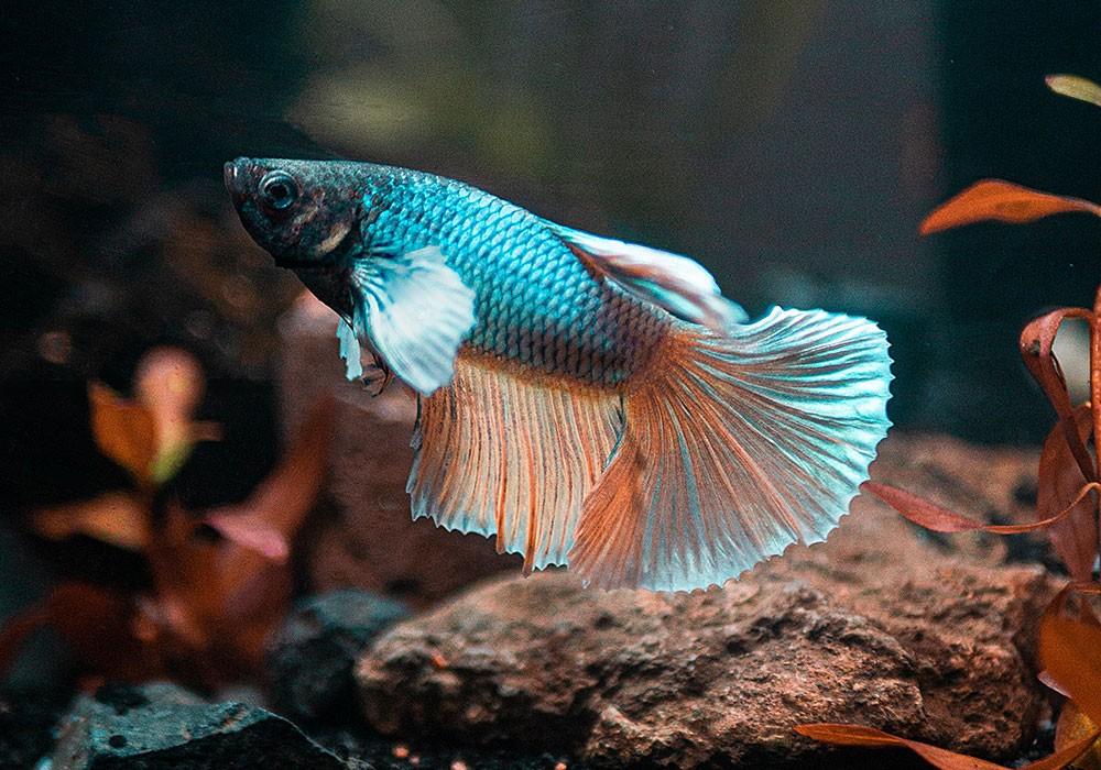 Kampffisch Aquariumgröße