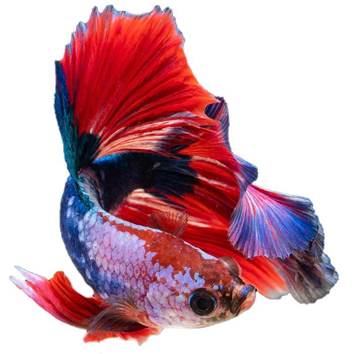 Kampffisch Steckbrief