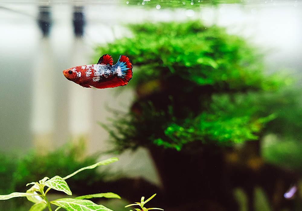 Kampffisch-Weibchen