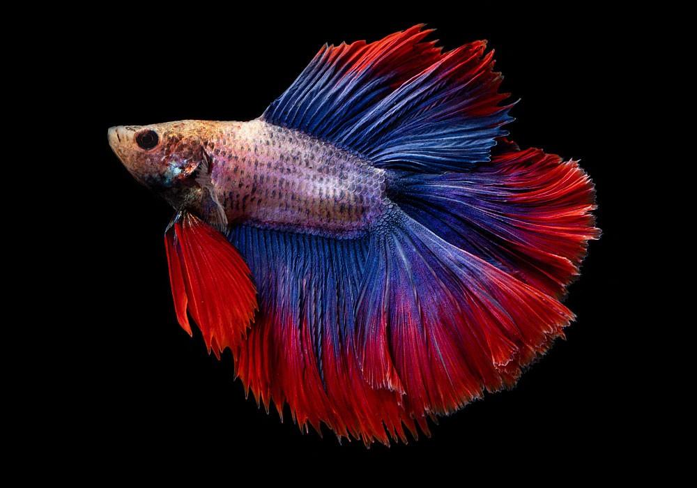 Der Kampffisch (betta splendens)